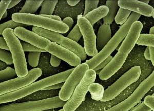 Koli Bakterien